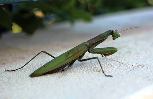 зелёный богомол картинка